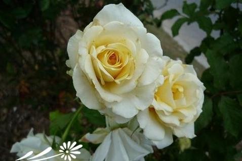 维纳斯鲜花 玫瑰有哪些种类 不同颜色的玫瑰花花语 不同种类的玫瑰花