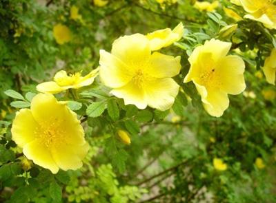 蔷薇花有哪些品种?